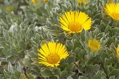 Flora of Fuerteventura - Asteriscus sericeus stock image
