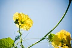 Flora gialla di alimento di verdure Immagini Stock