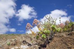 Flora of Gran Canaria - Aeonium percarneum Stock Image
