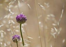 Flora of Gran Canaria - Allium ampeloprasum stock images