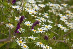 Flora of Gran Canaria. Canarian marguerite daisy and fodder vetch flower together in Caldera de Tejeda stock photos
