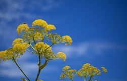 Flora of Gran Canaria - Ferula linkii. Giant Canary Fennel royalty free stock image