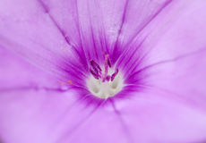 Flora of Gran Canaria, Flowering Convolvulus althaeoides. Macro floral background Royalty Free Stock Photo