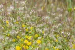 flora of Gran Canaria, Flowering Trifolium arvense Stock Photography
