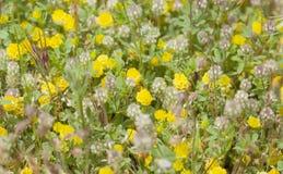 flora of Gran Canaria, Flowering Trifolium arvense Stock Image