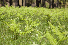 Flora of Gran Canaria - Pteridium ferns Royalty Free Stock Photo