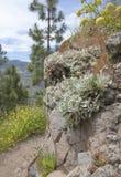 Flora of Gran Canaria -  Sideritis; mountain tea Royalty Free Stock Photo
