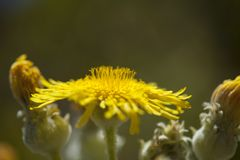 Flora of Gran Canaria - Sonchus acaulis. Endemic to central Canary Islands of Tenerife and Gran Canaria stock photo