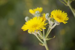 Flora of Gran Canaria -  Sonchus acaulis. Pant endemic to central Canary Islands Royalty Free Stock Images