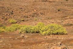 Flora of Gran Canaria, yellow flowers of Adenocarpus foliolosus. Flora of Gran Canaria: yellow flowers of Adenocarpus foliolosus royalty free stock image