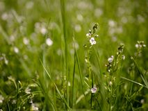 Flora, Grass, Flower, Meadow Royalty Free Stock Images