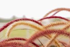 Flora Grasses no jardim fotografia de stock royalty free