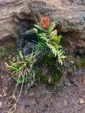 Flora Growing através das rochas, Kauai, Havaí, EUA imagens de stock royalty free
