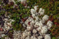 Flora in Hardangervidda Stockfotos