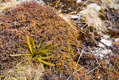 Flora indigena delle coperture al suolo della Nuova Zelanda Fotografie Stock Libere da Diritti