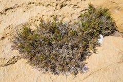 Flora on the island Gozo. Stock Image