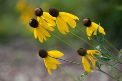 Flora Leaning Drooping Black Eyed Susan Group Bunch Afternoon fotos de archivo