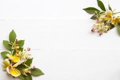 Flora local do frangipani amarelo das flores de ?sia em branco foto de stock