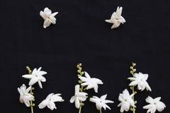Flora local do jasmim das flores brancas de Ásia no preto imagem de stock