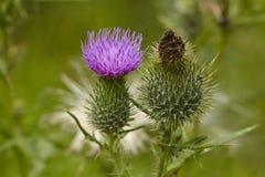 Flora - Mary-Distel Stockfotos