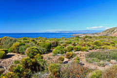 Flora Mediterranea - Carloforte Fotografia Stock Libera da Diritti