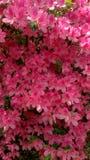 Flora na azálea 2019 do leste de Texas 001 fotografia de stock