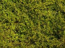 Flora In Nature Background verde Fotografie Stock