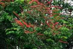 Flora: Norantea Franska Guyana Arkivbilder