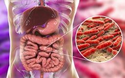 Flora normale dell'intestino tenue, lattobacillo dei batteri royalty illustrazione gratis
