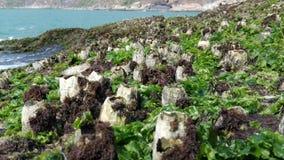 Flora oceánica, conchas marinas, alga marina La India, Gokarna foto de archivo