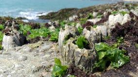 Flora oceânico, conchas do mar, alga Índia, Gokarna Foto de Stock Royalty Free