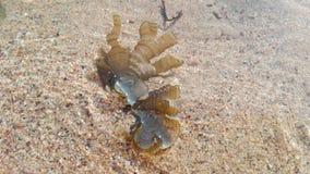 Flora oceanica, conchiglie, alga L'India, Gokarna fotografia stock libera da diritti