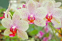 Flora orchids Royalty Free Stock Photos