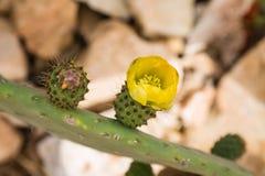 Flora på ön Malta Arkivfoto