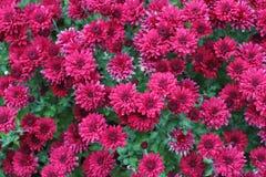 Flora púrpura roja hermosa Fotos de archivo