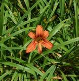 Flora, Plant, Daylily, Flower Stock Photos