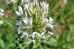 Flora, plant, flower, caper family, cardoon, cabbage butterfly, ear, spike, capitulum. Flora is plant, cardoon and daisy. That marvel has flower, cabbage stock photography