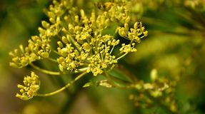 Flora, Plant, Subshrub, Parsley Family royalty free stock photo