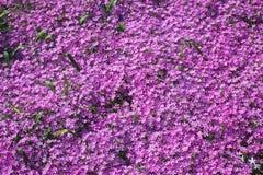 Flora porpora Fotografia Stock