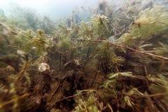 Flora Rivers de ?gua doce subaqu?tica, lagos, lagoa, flora subaqu?tica foto de stock