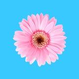 Flora rosa del girasole Fotografia Stock