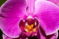 Flora _ Rosa-Orchidee Stockfotografie