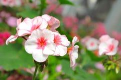 Flora rosada Imágenes de archivo libres de regalías
