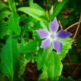 Flora roxa imagem de stock royalty free