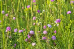 Flora selvagem e flores roxas em um campo verde Fotos de Stock Royalty Free