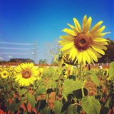 Flora sunflower Royalty Free Stock Photo