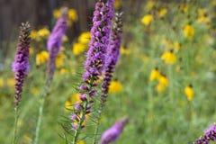 Flora Tall Purple Flowers Perennial Lupine besluipt Gebied royalty-vrije stock foto