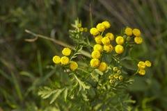 Flora - Tansy Fotografering för Bildbyråer