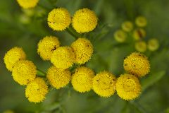 Flora - Tansy Stock Image