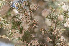 Flora van arborea van Gran Canaria - van Erica stock fotografie